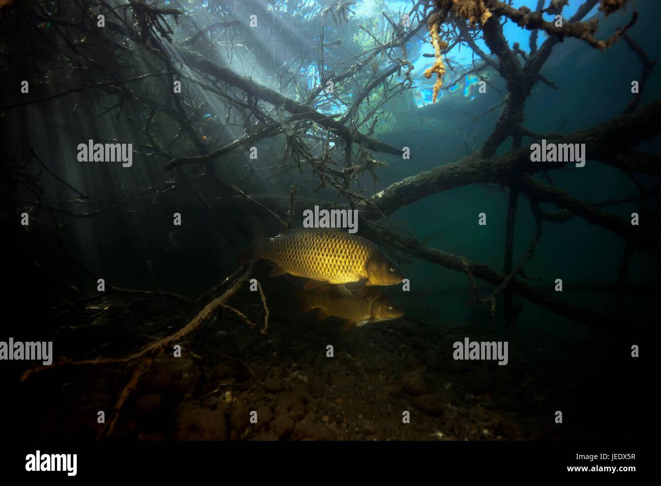 Europäischer Schuppenkarpfen; Karpfen im Uferbereich, Weissensee; Kärten; Österreich; Fisch | Common - Stock Image