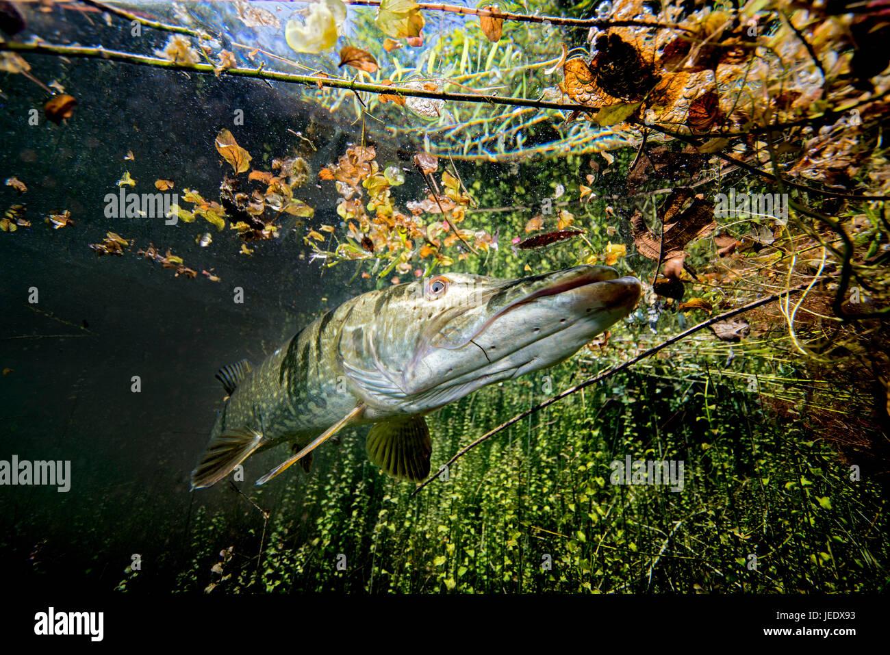 Europa; Deutschland, Bayern, Echinger Weiher, Hecht; Hecht im Flachwasser; hechtartiger; Raubfisch; Süsswasser; - Stock Image
