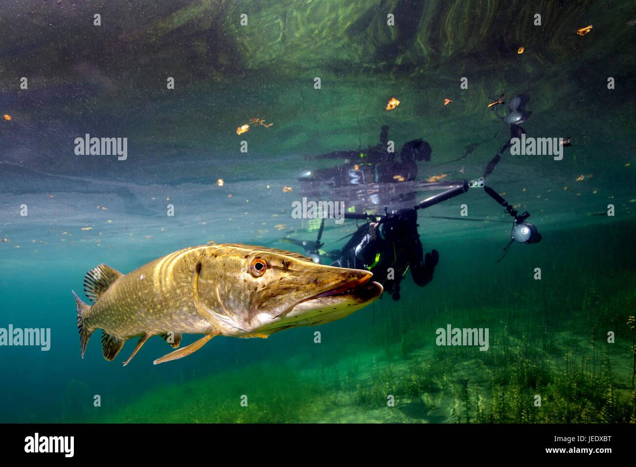 Europa; Taucher mit Hecht im Echinger Weiher, Bayern, Deutschland; Hecht im Flachwasser; hechtartiger; Raubfisch; - Stock Image