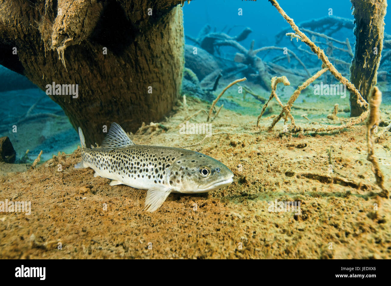 Seeforelle am Boden des Blindsees, Österreich; Tirol; Blindsee; Seeforelle; Forelle; Lachsfisch; Süsswasser - Stock Image