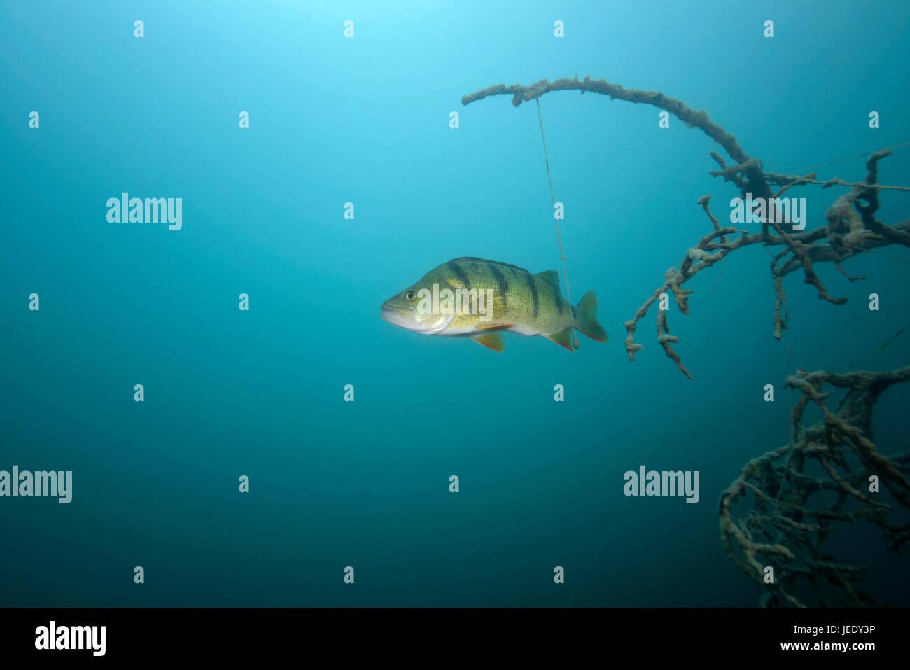 Fisch s sswasserfisch barsch flussbarsch echter barsch for Fisch barsch