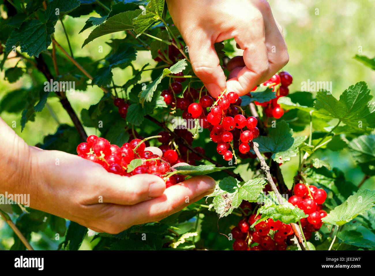 Female hands tear off red currant berries on a sunny day - Stock Image
