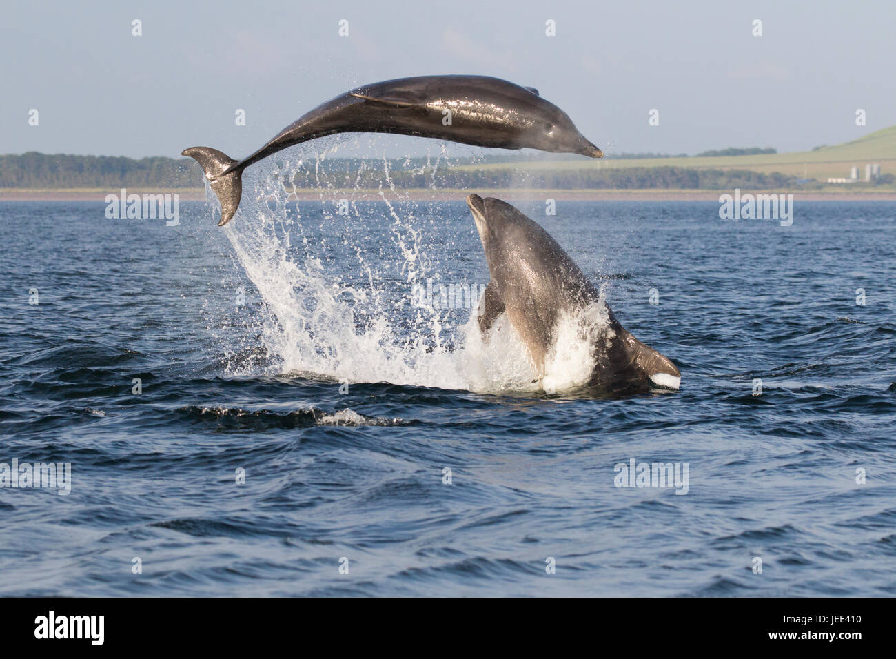 Two adult bottlenose dolphins (Tursiops truncatus) breaching/ leaping in the Moray Firth, Chanonry Point, Scotland, - Stock Image