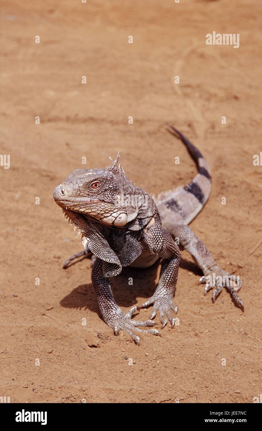 Green Leguan, Sand, Iguana iguana, the Caribbean, voucher airs, - Stock Image