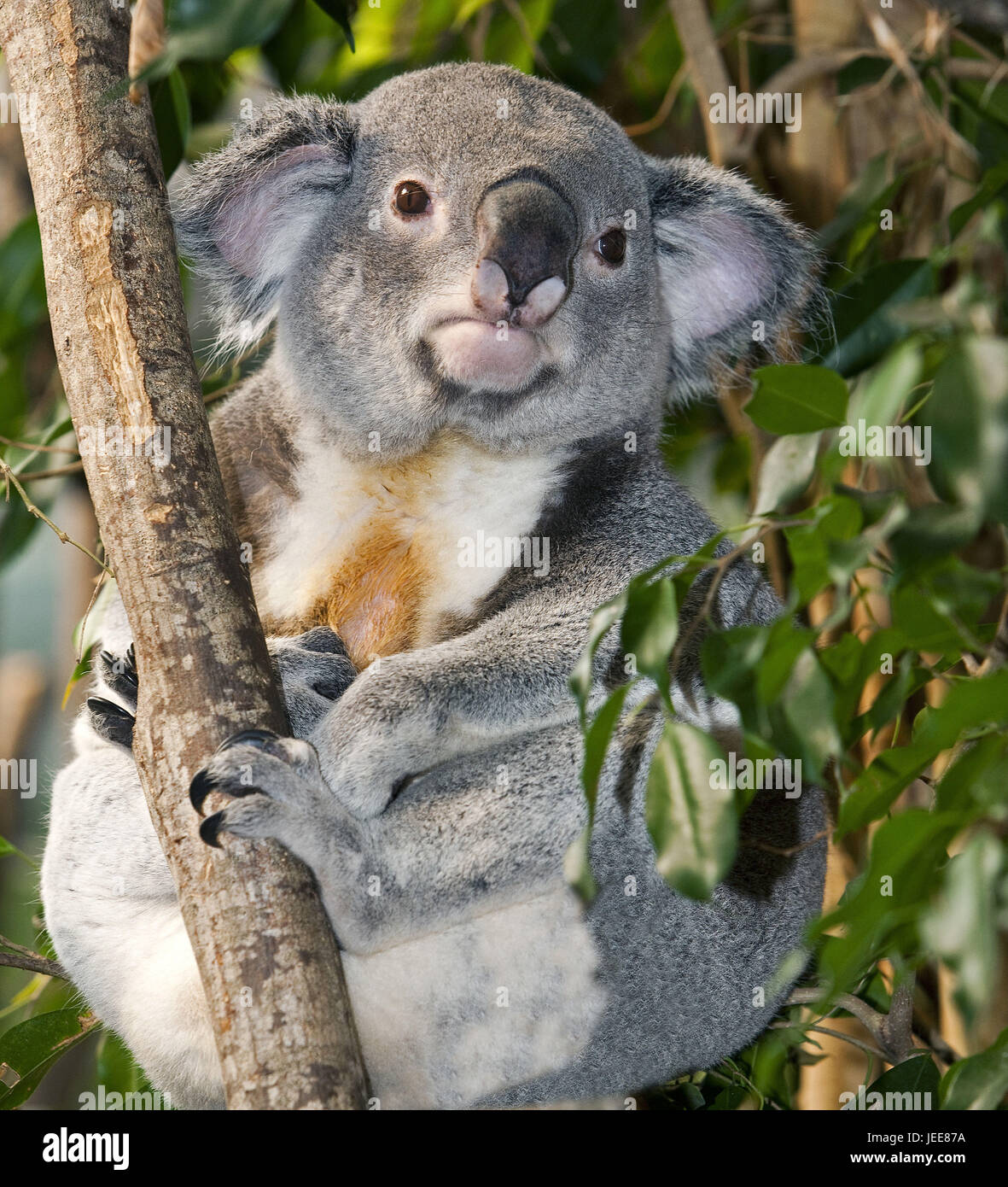 Koala, Phascolarctos cinereus, little men, sit, branch, - Stock Image