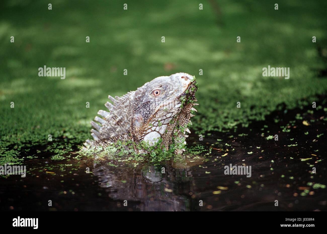 Green Leguan, water, Iguana iguana, the Caribbean, voucher airs, - Stock Image
