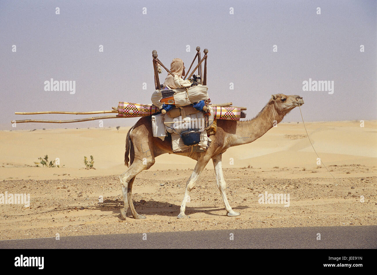 Mauritania, camel, bleed, household, Africa, West Africa, scenery, desert, person, local, Mauritanian, African, - Stock Image