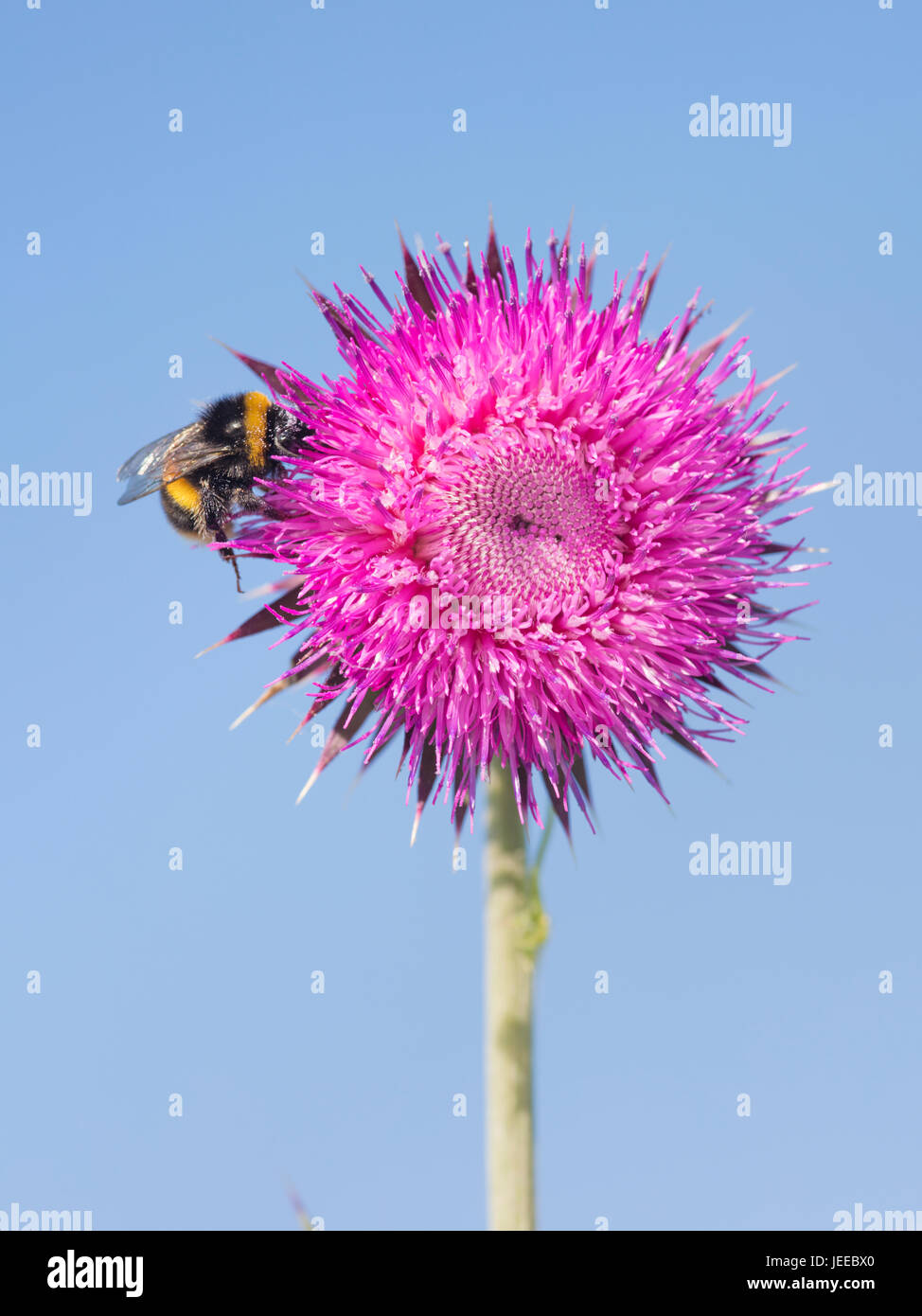 Bumble-bee feeding on Milk thistle flower in high summer in Britain - Stock Image