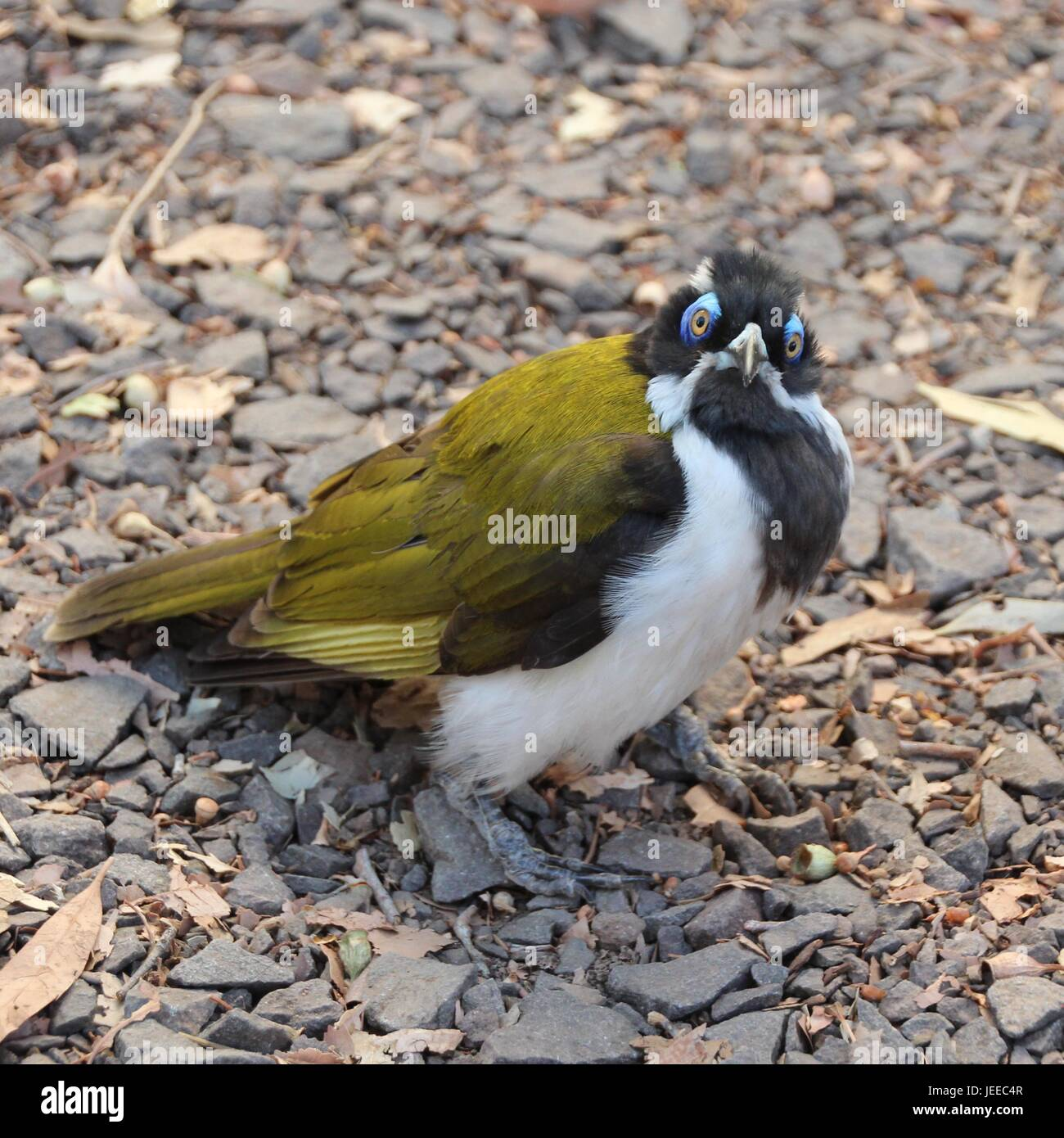 The honeyeater looks at me - Stock Image