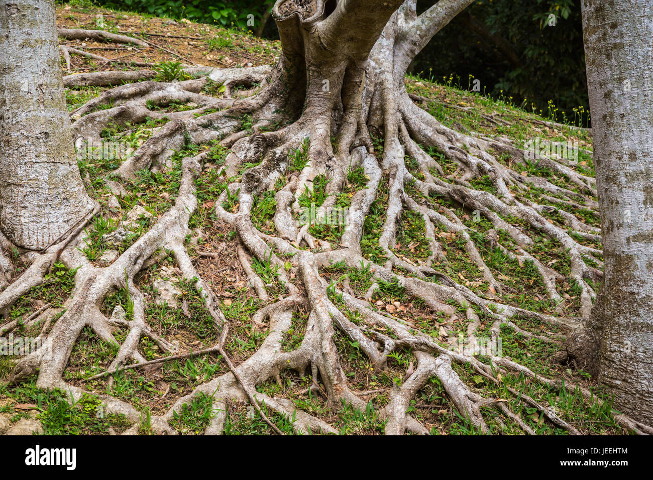 A sprawling tree root in the gardens of Shikinaen, located on a small hill to the south of Shuri Castle in Naha, - Stock Image