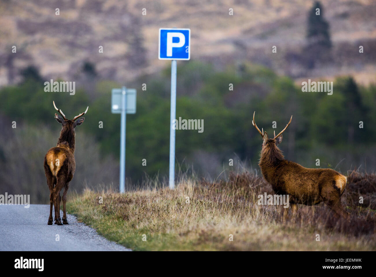 Red Deer stag on road next to a car parking sign. - Stock Image