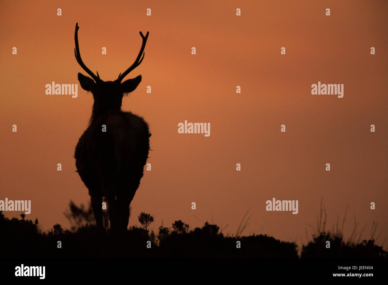 Red Deer stag at sunset, Applecross, Scotland - Stock Image