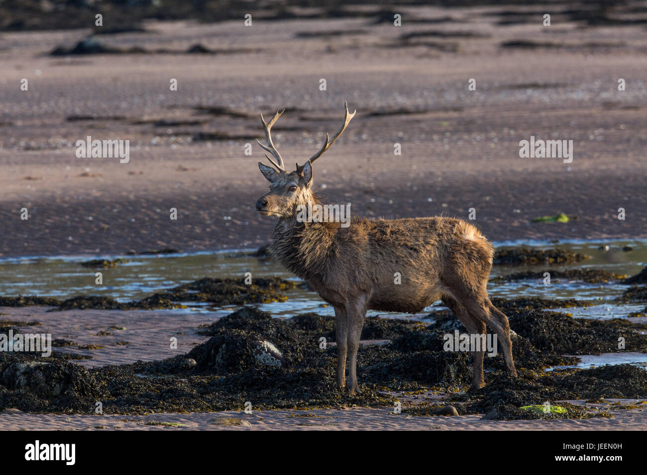 Red Deer stag on beach at Applecross, Scotland. - Stock Image