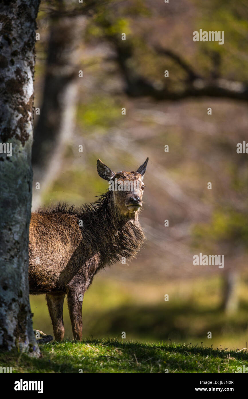 Yound Red deer stag in woodland, Applecross, Scotland, UK. Stock Photo