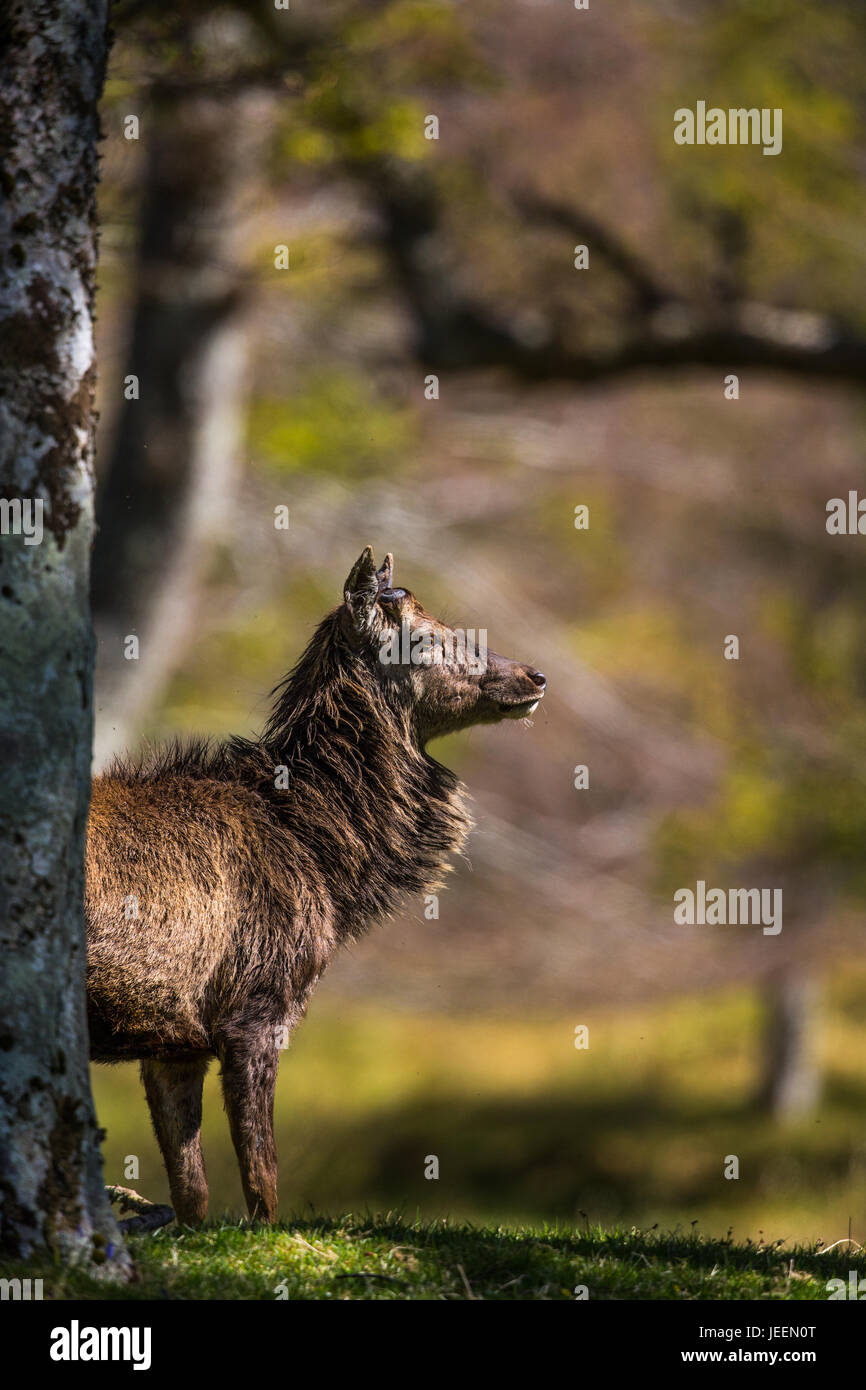 Yound Red deer stag in woodland, Applecross, Scotland, UK. - Stock Image