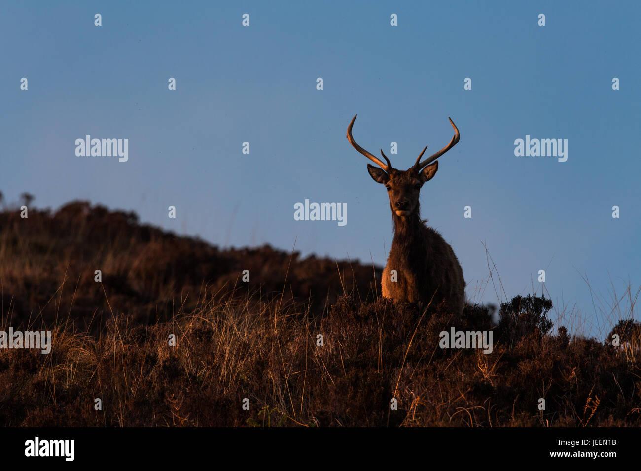 Red Deer stag on moorland, Applecross, Scotland, UK - Stock Image