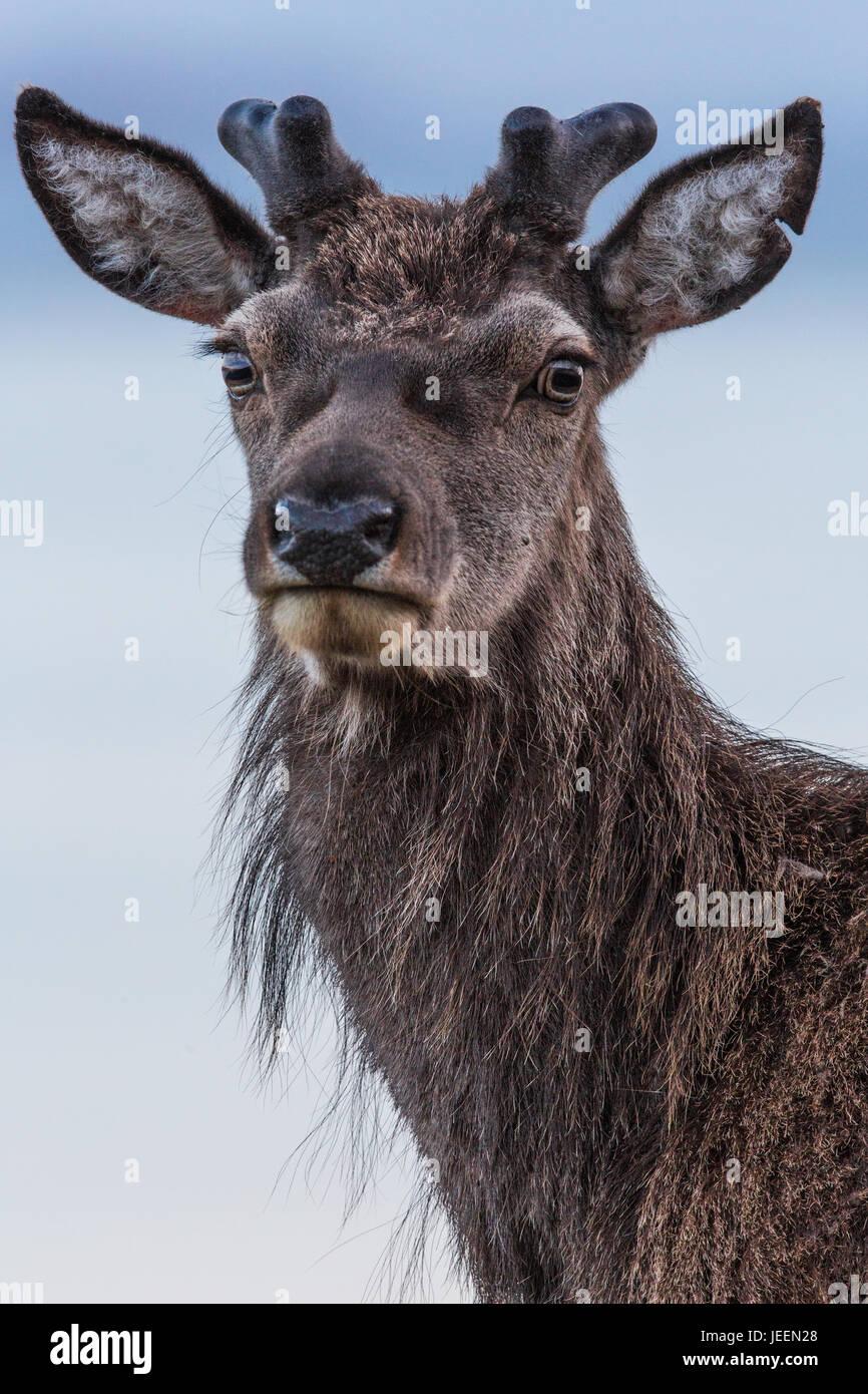 Red Deer Stag, Applecross, Scotland - Stock Image