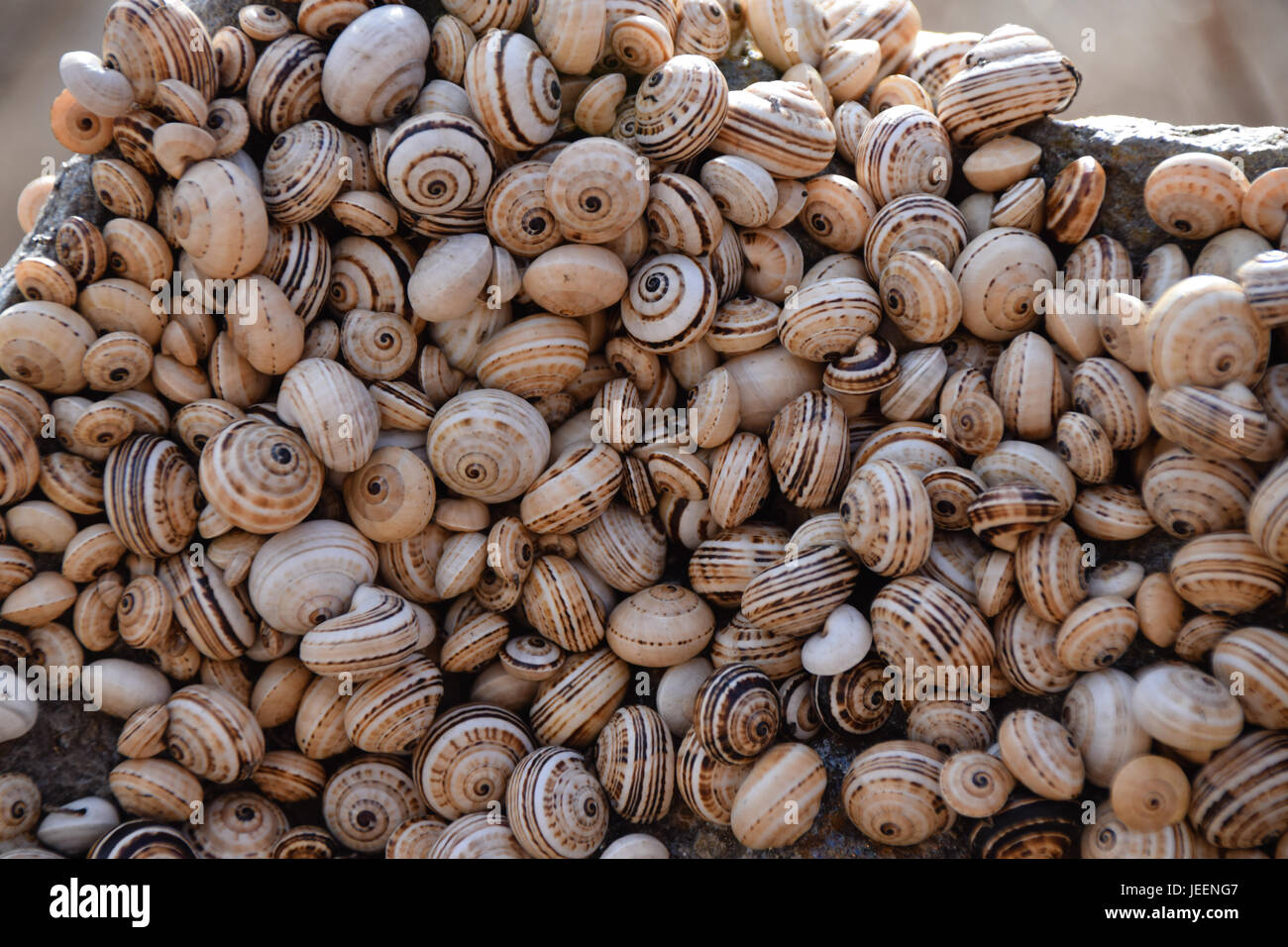 Snails clustered together on a rock in an arid environment to avoid the heat of the soil, Porto Santo Island - Stock Image