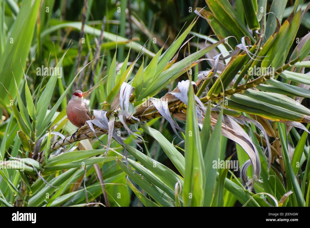 Common Waxbill wild bird amongst the vegetation in Porto Santo, Portugal - Stock Image