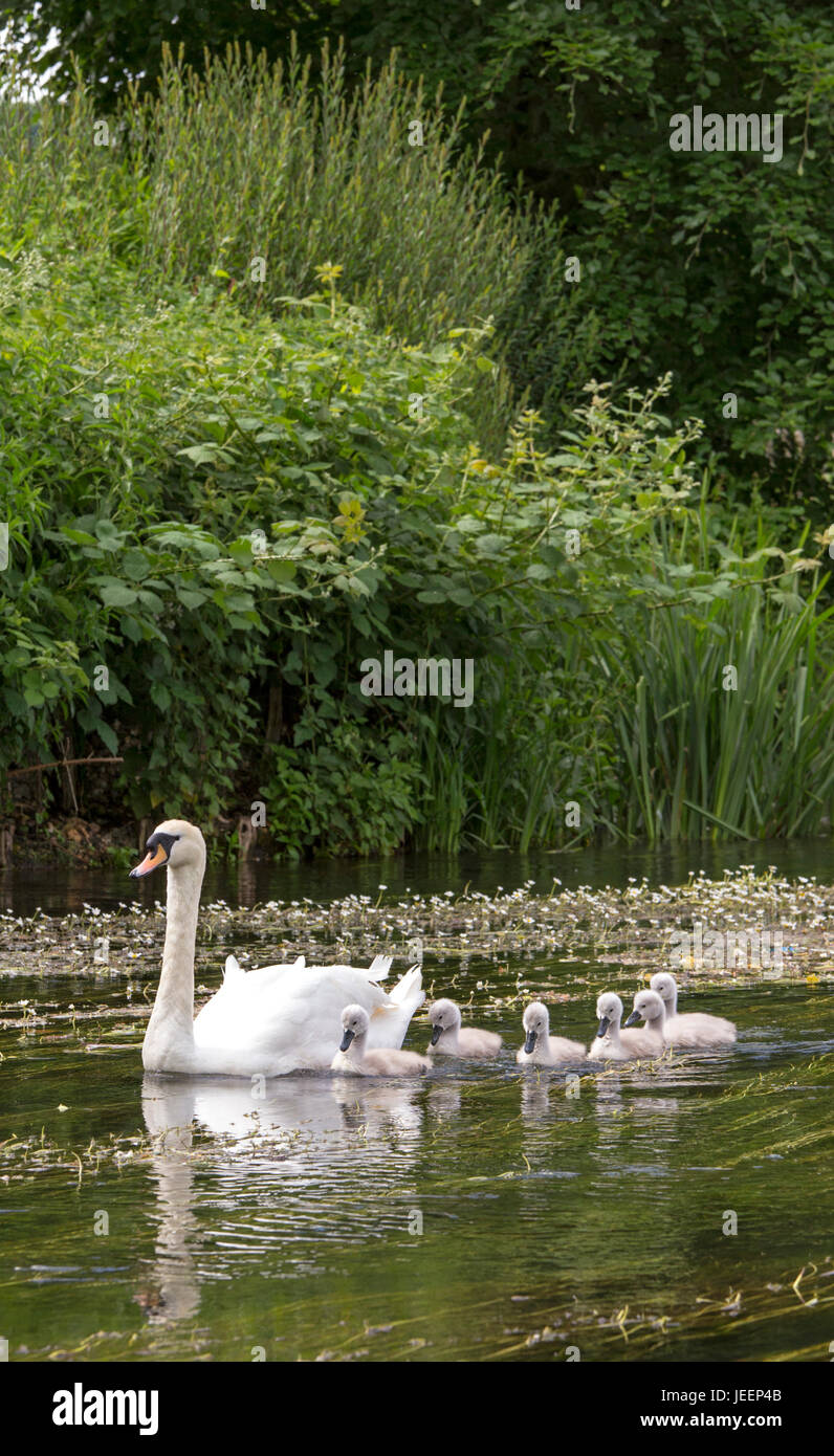 Mute Swan with Cygnets in an English river, England, UK - Stock Image