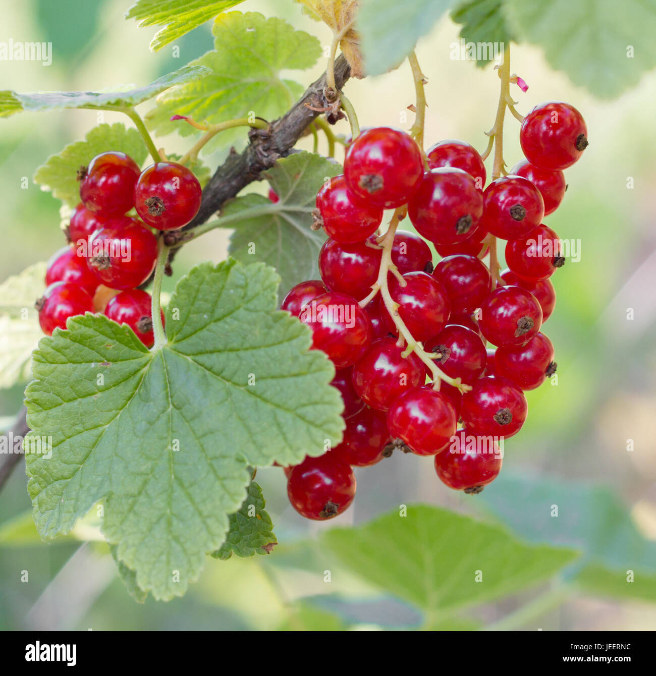 closeup of red currant fruit Stock Photo