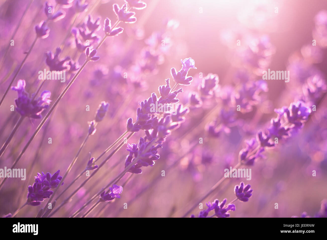 Purple Flowers At Sunset High Resolution Stock Photography And Images Alamy