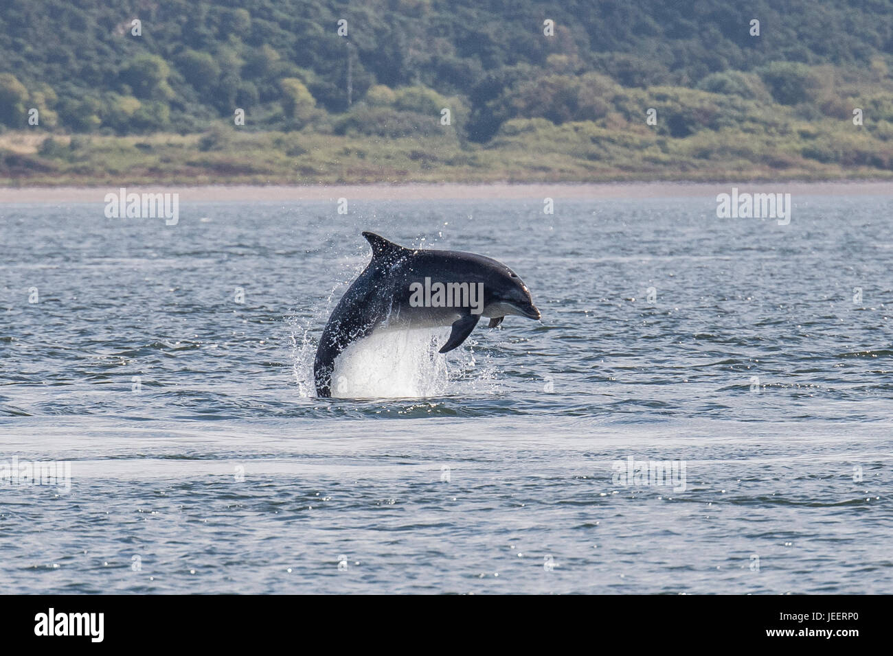 Common Bottlenose Dolphin, breaching off Chanonry Point, Black Isle, Moray Firth, Scotland, United Kingdom - Stock Image