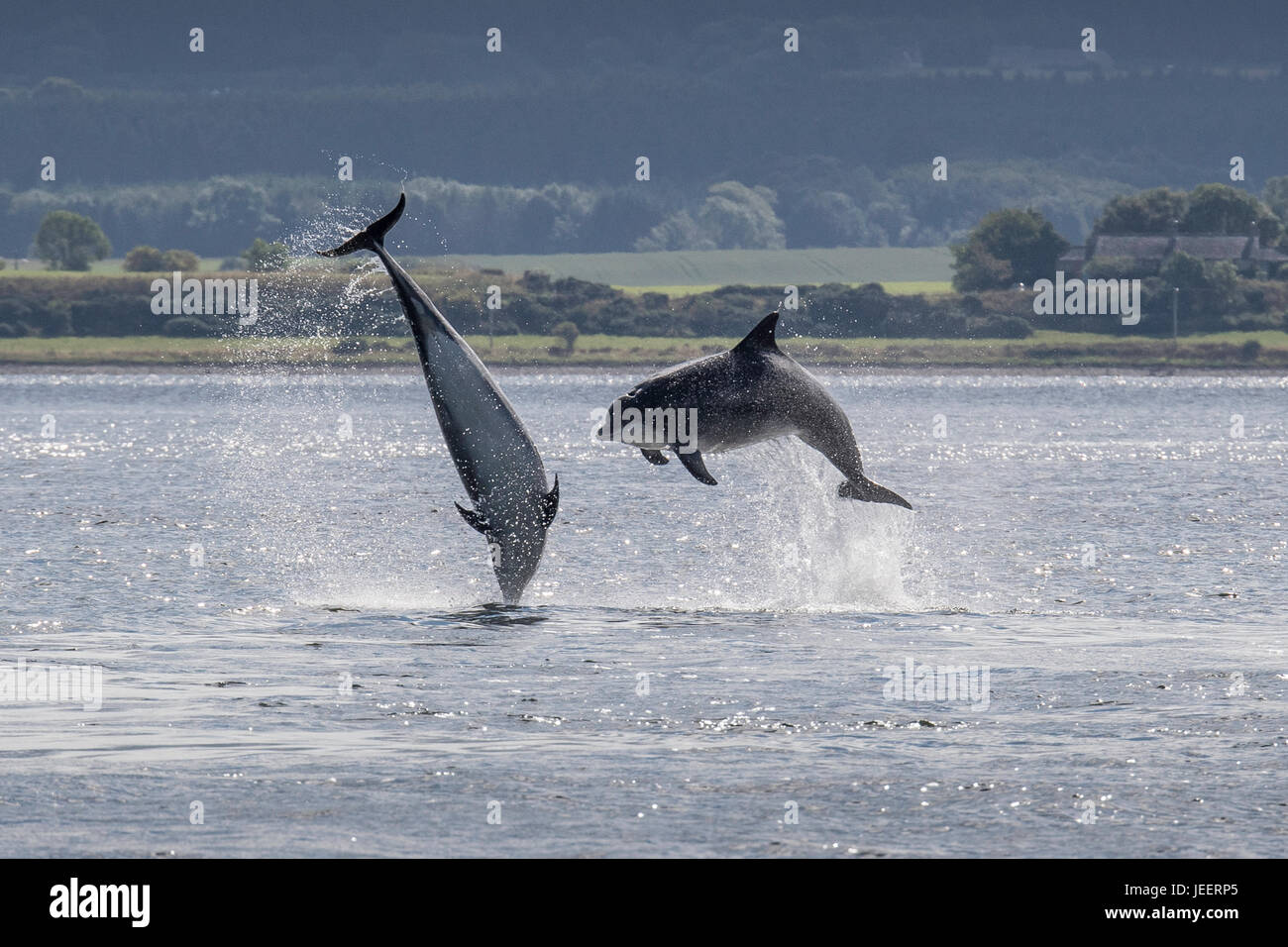 Two Common Bottlenose Dolphins, breaching off Chanonry Point, Black Isle, Moray Firth, Scotland, United Kingdom - Stock Image