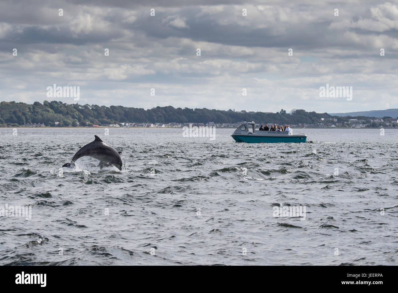 Two Common Bottlenose Dolphins, breaching in front of tourist dolphin watching boat, Chanonry Point, Black Isle, - Stock Image