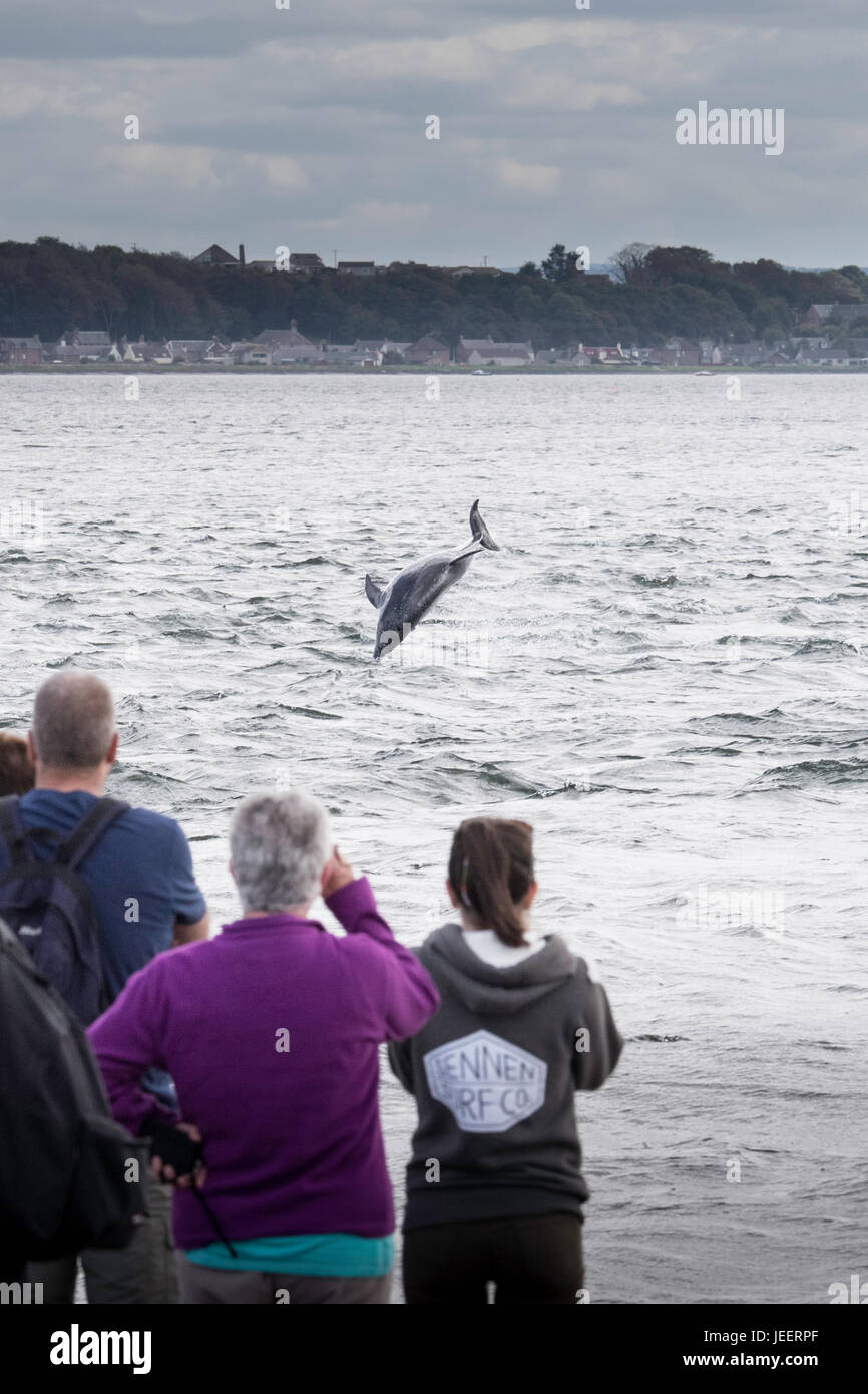 Common Bottlenose Dolphin, breaching in front of tourists, watching from land, at Chanonry Point, Black Isle, Moray - Stock Image