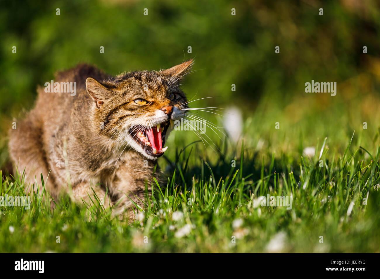Native British wildlife: Scottish Wildcat (Felis silvestris) snarls showing its sharp teeth, British Wildlife Centre, - Stock Image