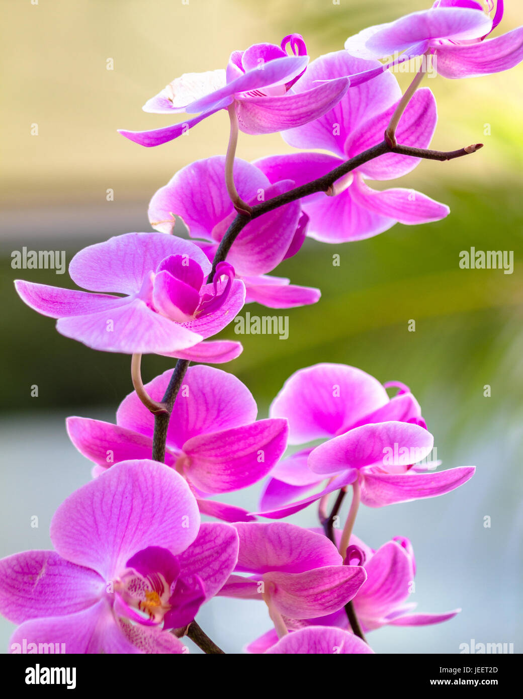 Purple Orchid - Stock Image