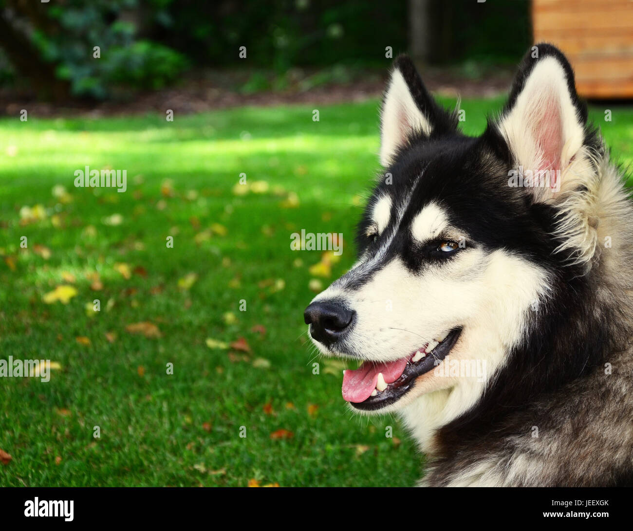 Siberian Husky smiling and panting in summer - Stock Image