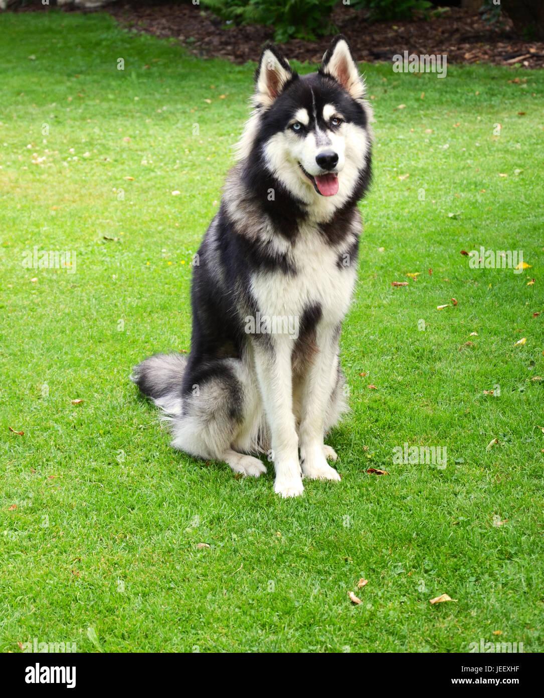 Happy Siberian Husky smiling into camera, Germany - Stock Image