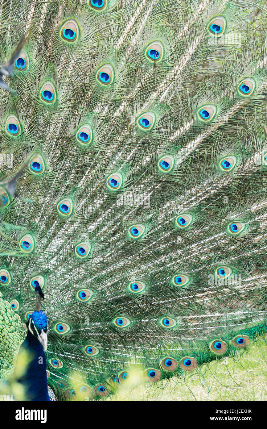 Peacock showing feathers. Exotic bird plumage. Wildlife pattern with eyes. - Stock Image