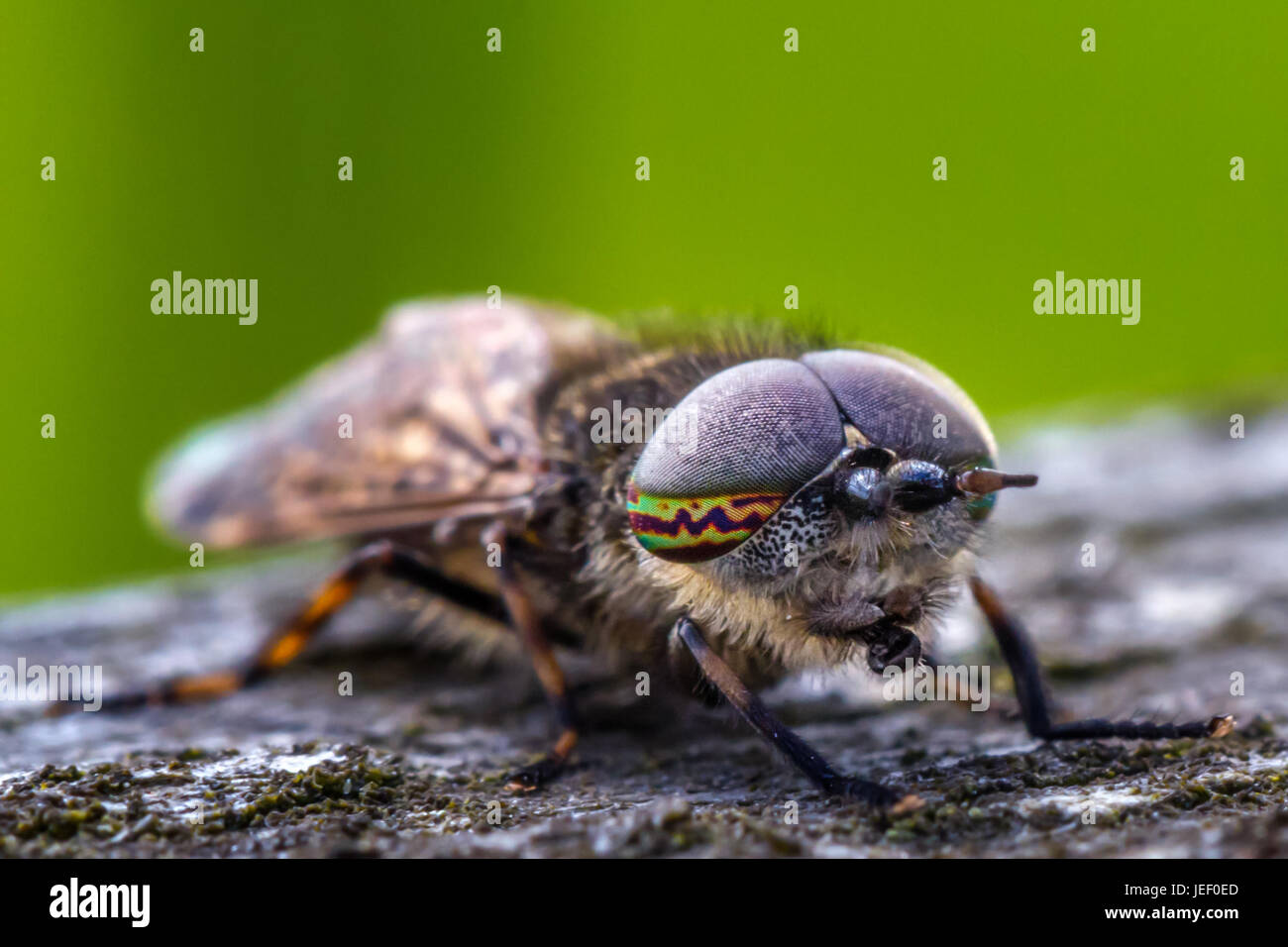 Notch-horned cleg (Haematopota pluvialis), a type of horsefly - amazing close up of beautiful compound eye markings, - Stock Image