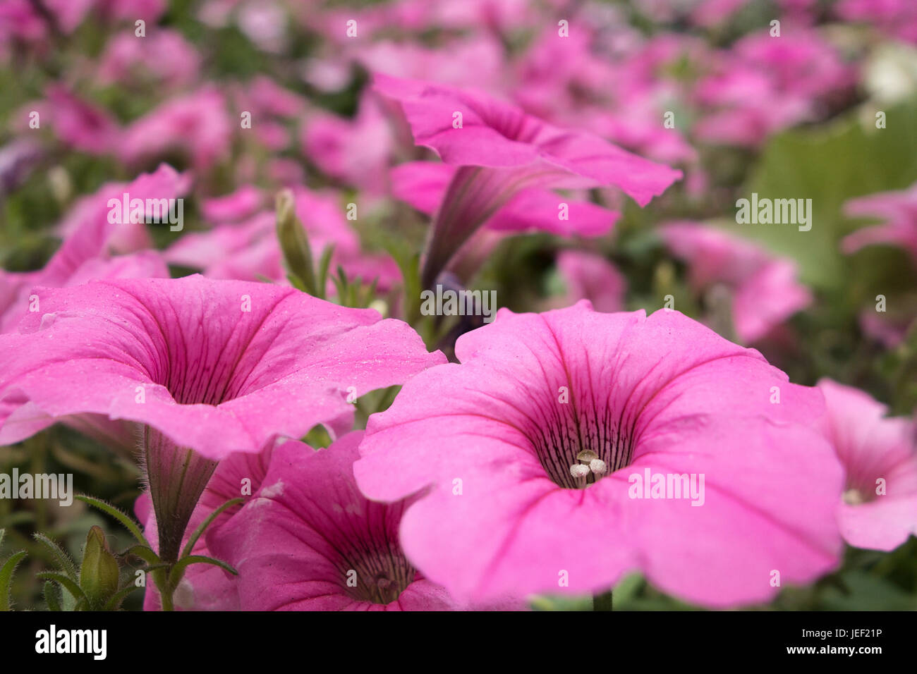Field Of Pink Flowers Stock Photo 146619026 Alamy