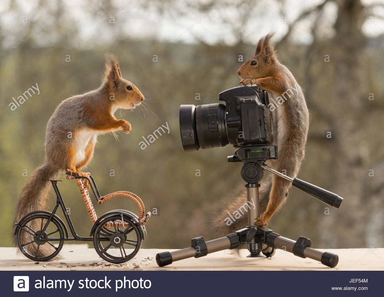 squirrel on bike looking at a red squirrel who is standing behind a camera - Stock Image