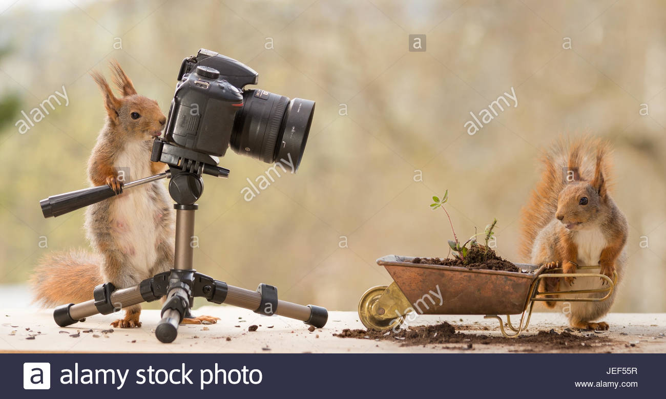 red squirrel who is standing behind a camera pointed at another squirrel with a wheelbarrow - Stock Image