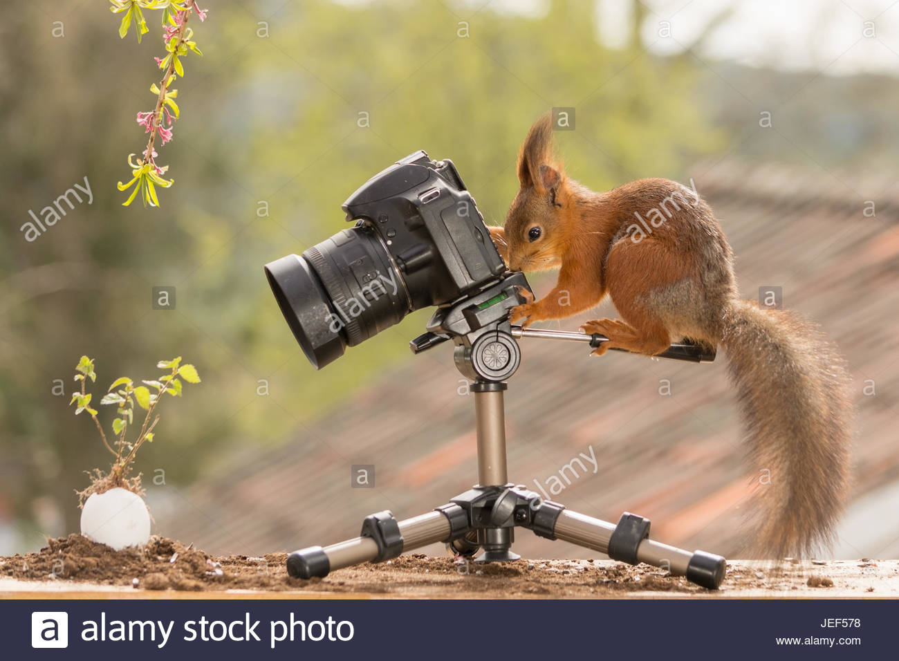 red squirrel who is standing behind a camera pointed at a egg with small plant - Stock Image