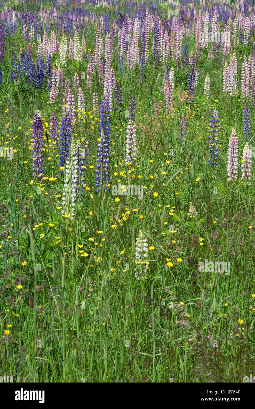 The lupins, seldom also wolf bean or cowardly bean called, are a plant type in the subfamily of the Schmetterlingsbl?tler - Stock Image