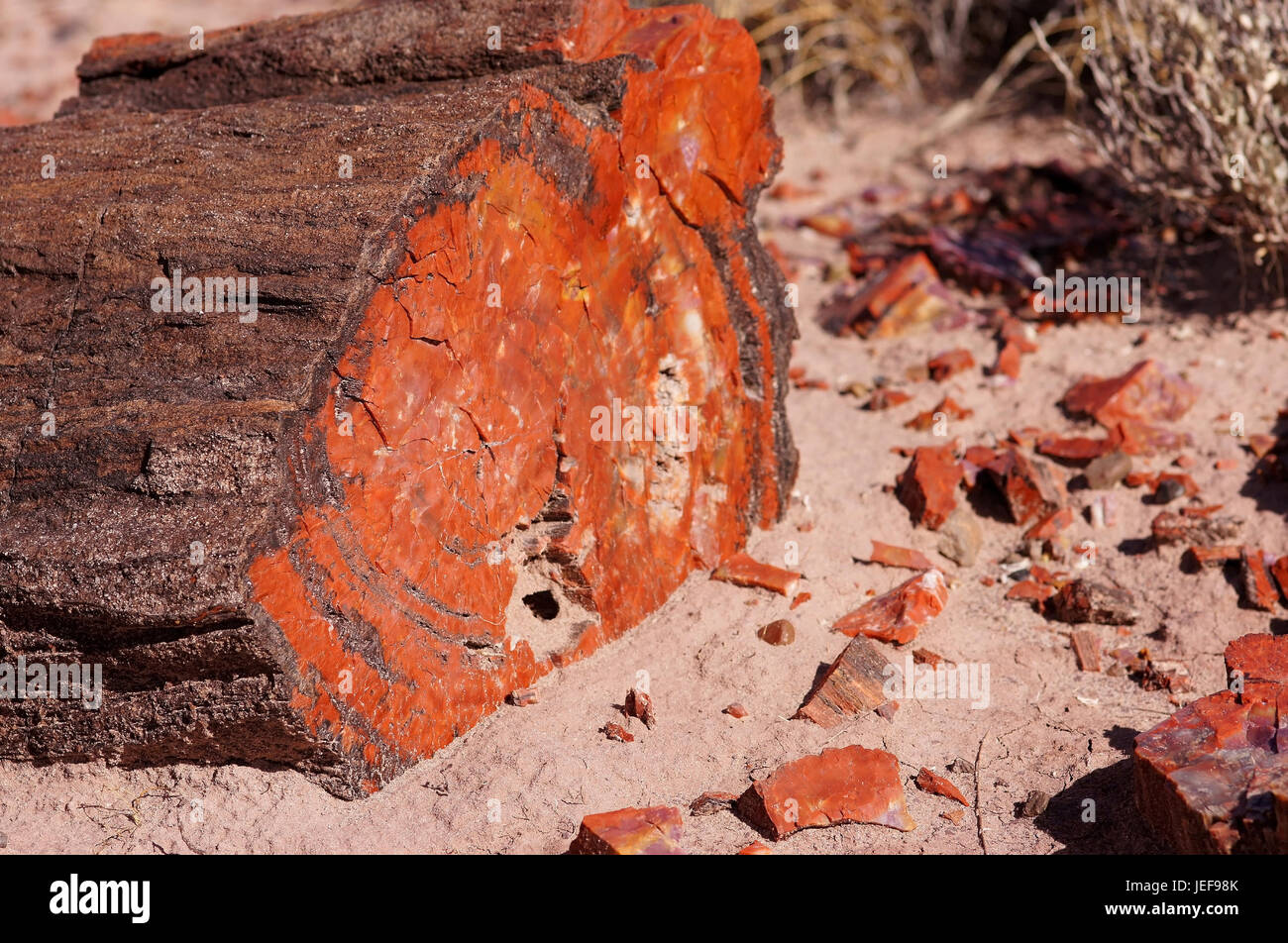 Petrified Forest, fossilized trees, national park, Arizona, , versteinerte Baeume, Nationalpark - Stock Image
