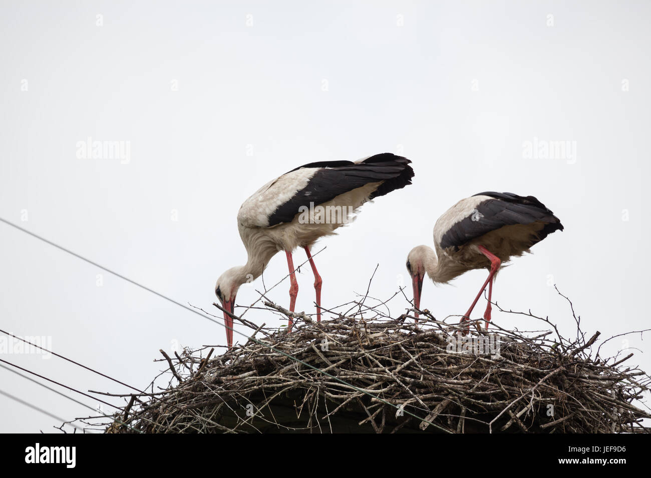 Two adult white storks in the slot synchronously tilted the heads - Stock Image