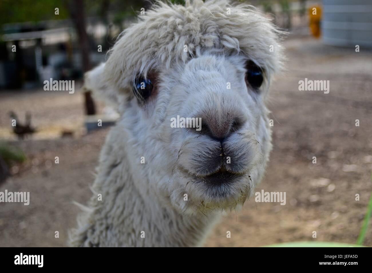 White suri alpaca face - Stock Image