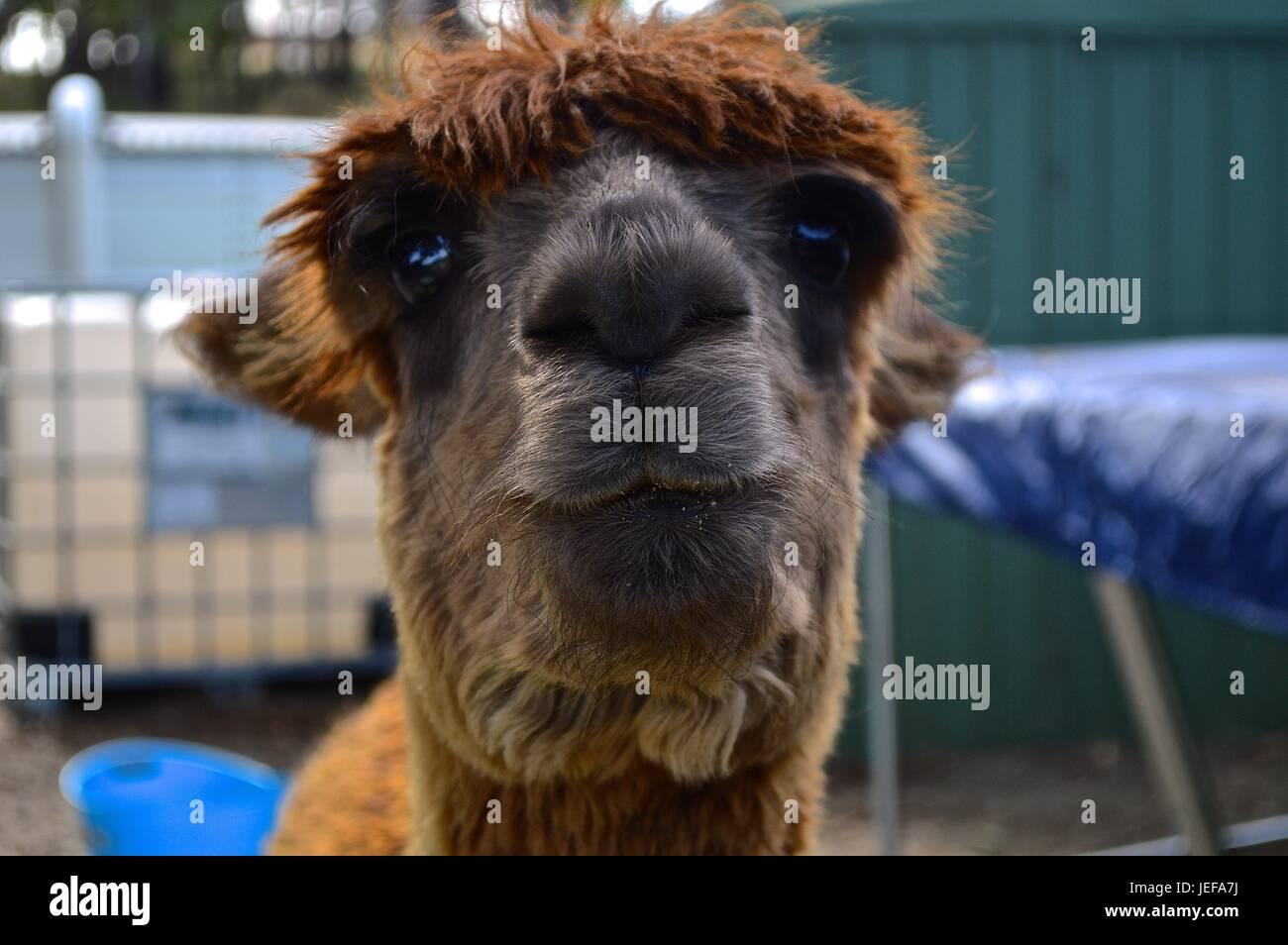Brown suri alpaca face Stock Photo