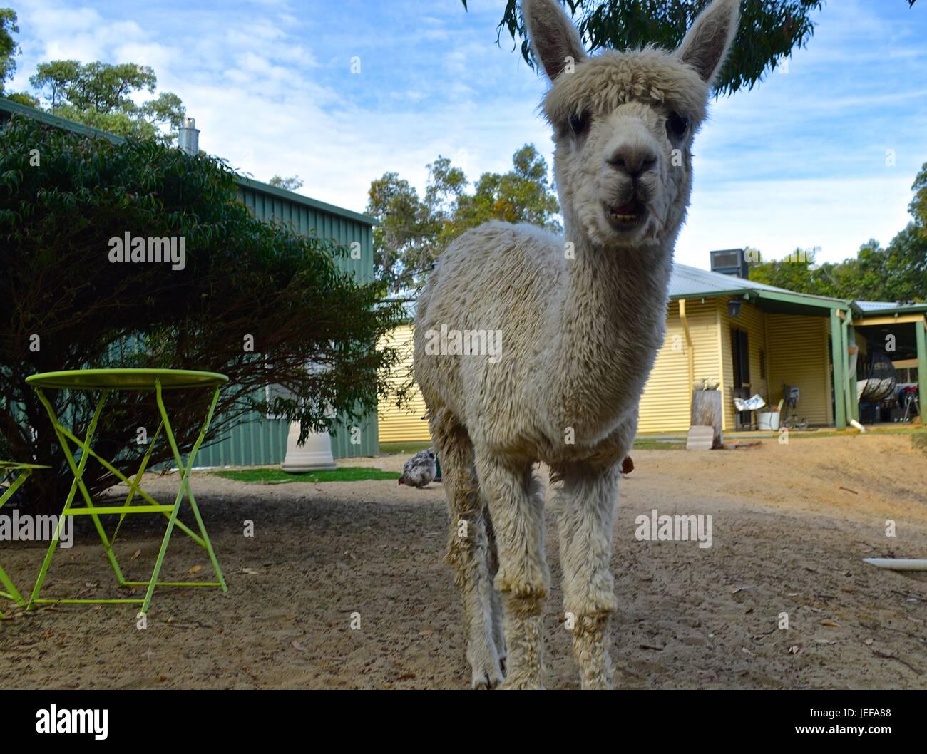 White suri alpaca - Stock Image