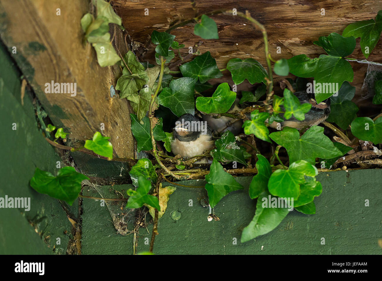 Swallow chicks in a nest in a hide roof among ivey three chicks one showing and two partly hiden. Waiting for the - Stock Image