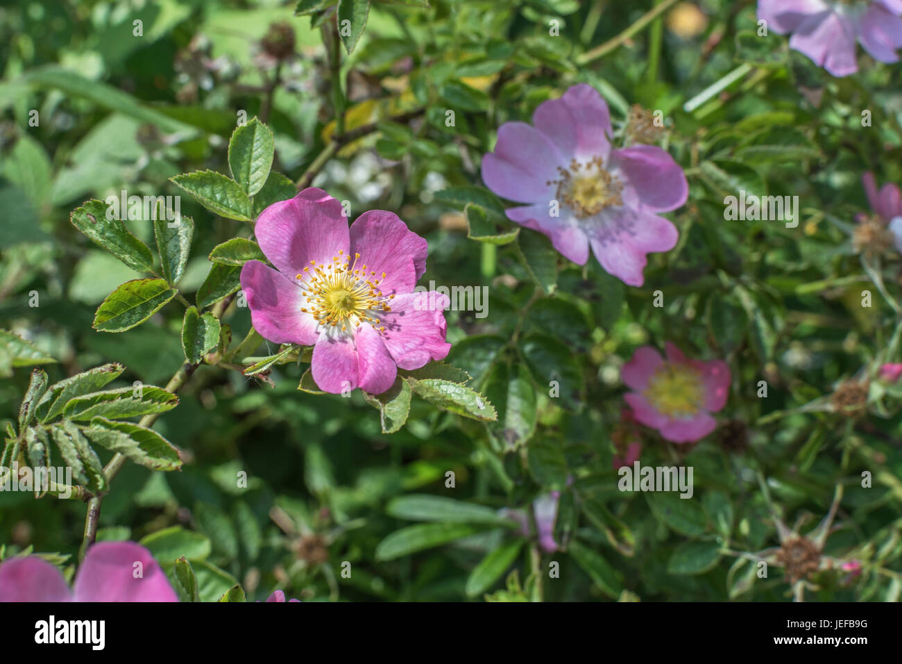 Wild rose / Dog Rose / Rosa canina flowers in bloom (June). Source of 'rose hips'. Stock Photo