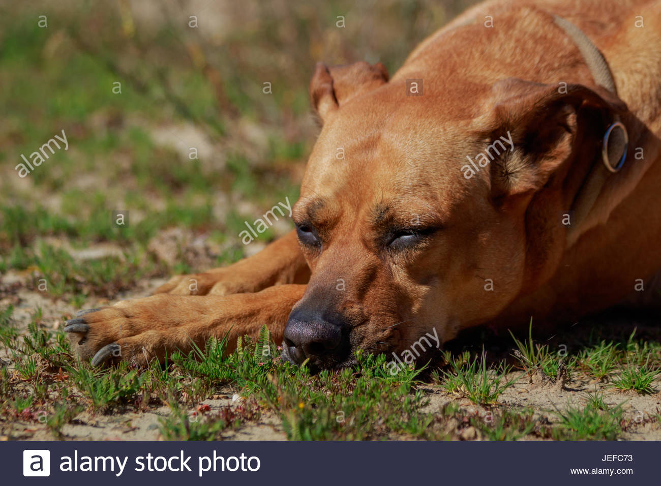 Portrait of a sleeping dog with closed eyes. Lying on the paw in the meadow. - Stock Image
