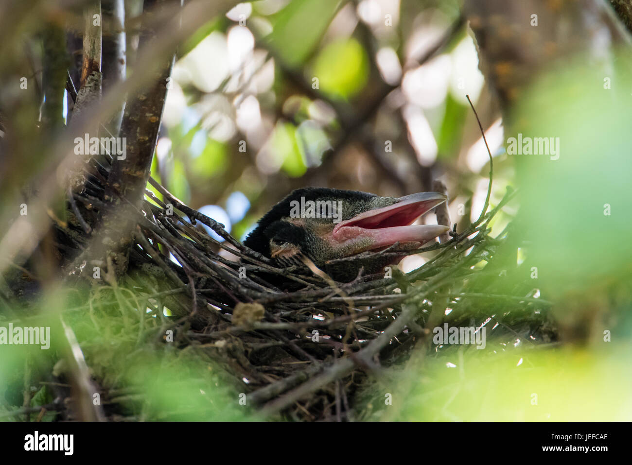 The oldest of the magpie's (Pica pica) nestlings calling for food in the nest in the japanese cherrytree  8 - Stock Image
